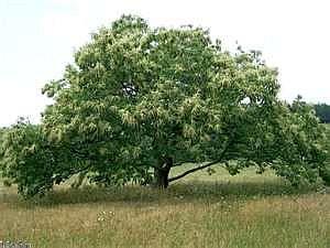 Chestnut_tree