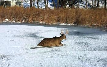 Deer in ice_3