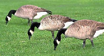 Canada Geese_problem