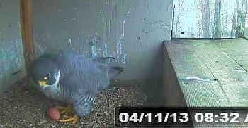 Peregrine Falcon South Bend
