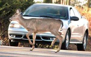 "Season is Time to"" Watch Out"" for Deer 
