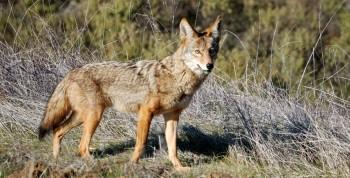 Indiana Coyote